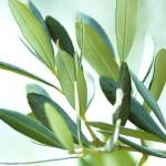 Extrakt-z-olivových-listov